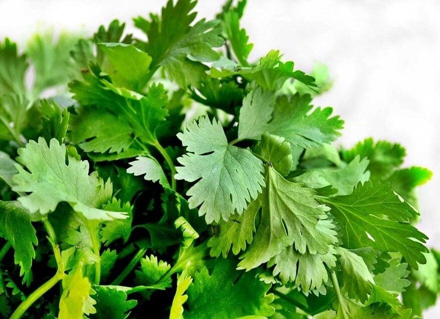 cilantro, hierbas aromáticas