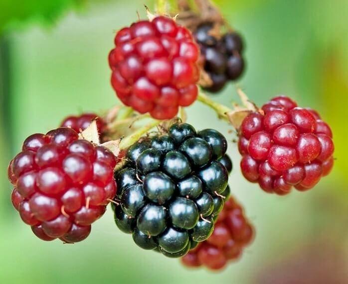 moras, frutas
